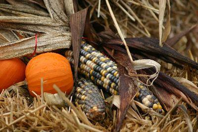 media Autumn Corn