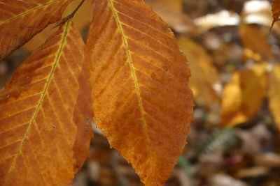 media Autumn Three Leaves