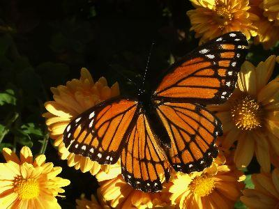 view the Image Butterfly Monarch