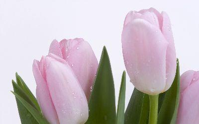 media Easter Pink Tulips