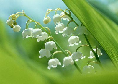 media Lily Of The Valley 2