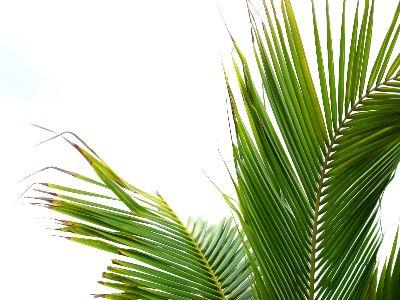 view the Image Palm Fronds
